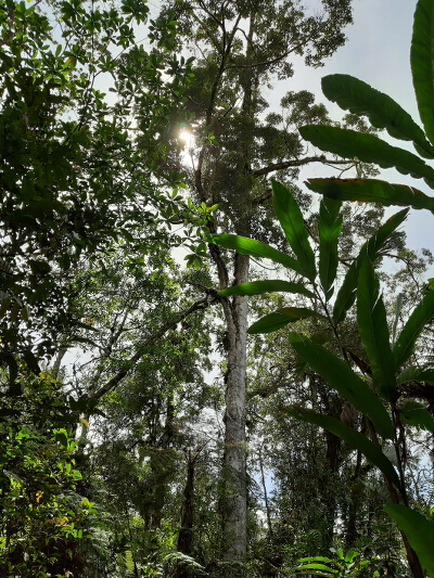 Protected Primary Forest in Bukidnon